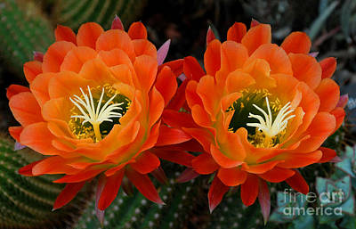 Flowers Photograph - Orange Cactus Flowers by Nancy Mueller