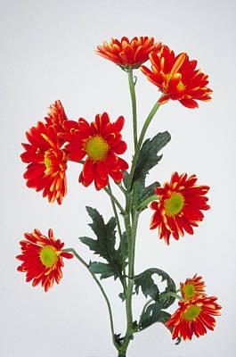 Photograph - Orange Carnations by Matthew Pace