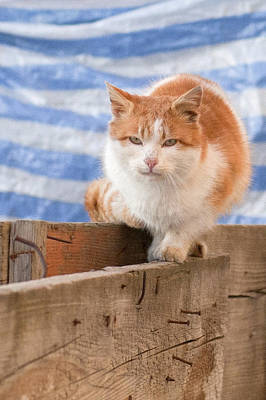 Photograph - Orange Cat  by Vlad Baciu