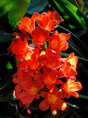 Photograph - Orange Clivia 001 by Lance Vaughn