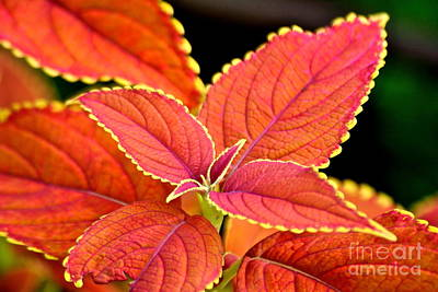 Photograph - Orange Coleus by Eve Spring