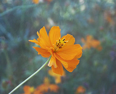 Photograph - Orange Cosmos by Kim Hojnacki