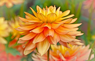 Photograph - Orange Cream Dahlia by Athena Mckinzie