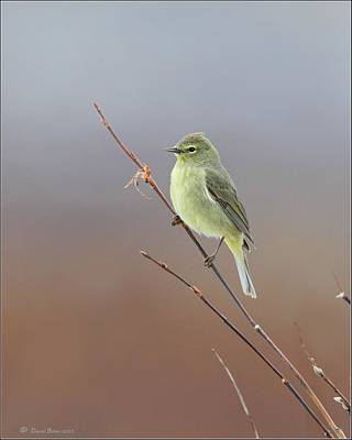 Photograph - Orange Crowned Warbler by Daniel Behm