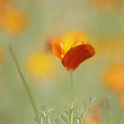 Photograph - Orange Crush - California Poppy by Kim Hojnacki