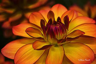 Photograph - Orange Dahlia by Elaine Pawski
