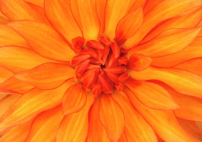 Striking Photograph - Orange Dahlia Flower Abstract by Nigel Downer