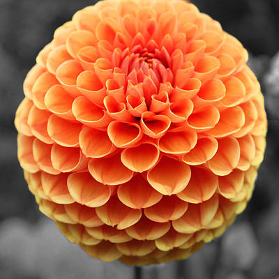 Orange Dahlia Art Print by Sumit Mehndiratta