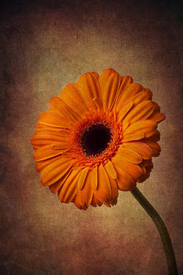 Gerbera Daisy Photograph - Orange Daisy by Garry Gay