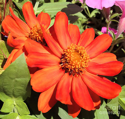 Art Print featuring the photograph Orange Daisy In Summer by Luther Fine Art