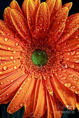 Orange Daisy Art Print by John Rizzuto