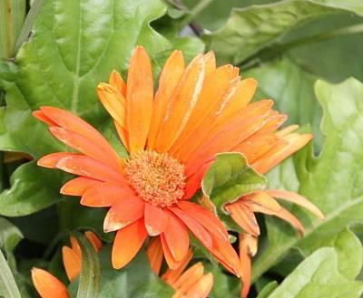 Photograph - Orange Daisy  by Kimber  Butler