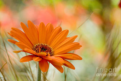 Daisy Photograph - Orange Daisy by Oscar Gutierrez