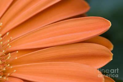 Photograph - Orange Daisy Petals by Jill Lang