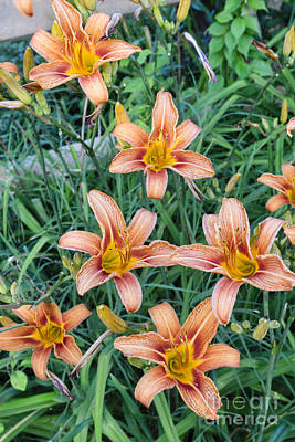 Photograph - Orange Daylily Blossoms In A Garden by William Kuta