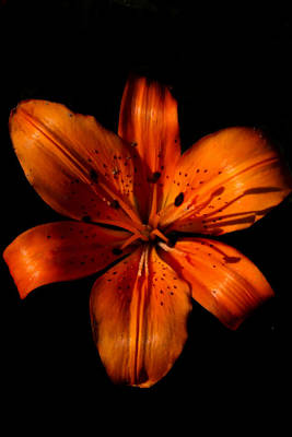 Flowers Photograph - Orange Daylily  by Sally Bauer