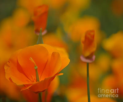 Bloosom Photograph - Orange Delight by Nick  Boren