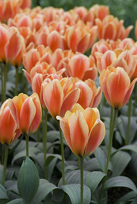 Photograph - Orange Dutch Tulips by Juli Scalzi