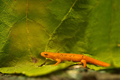 Photograph - Orange Eastern Newt Notophathalmus by Douglas Barnett