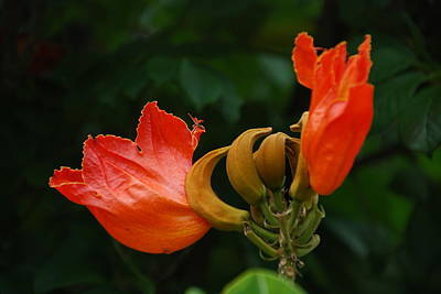 Photograph - Orange Flame Flowers by Ankya Klay