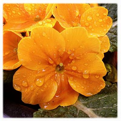 Drops Photograph - Orange Flower With Water Drops by Matthias Hauser