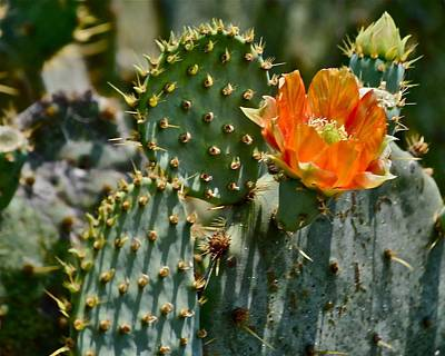 Photograph - Orange Cactus Flower by Kristina Deane
