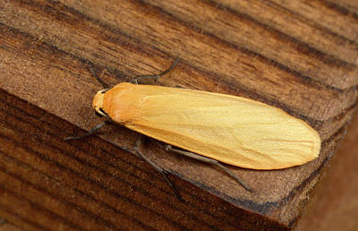 Orange Photograph - Orange Footman Moth by Nigel Downer