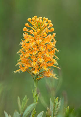 Photograph - Orange Fringed Orchid by Jim Zablotny