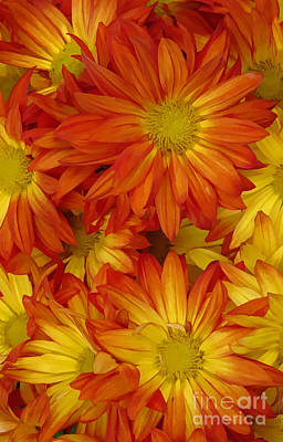 Digital Art - Orange Gazania by Peter Piatt