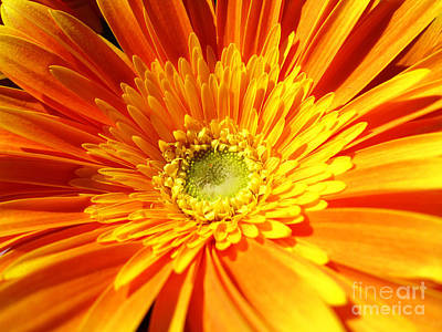 Photograph - Orange Gerbera by Cristina Stefan