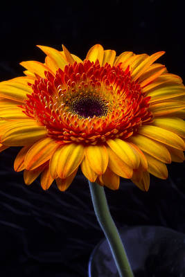 Gerbera Daisy Photograph - Orange Graphic Mum by Garry Gay
