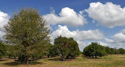 Photograph - Orange Grove. Babb Farm Kissimmee Florida. by Chris  Kusik