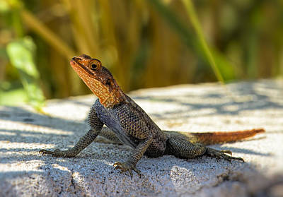 Agama Photograph - Orange Headed Lizard II by Paul W Sharpe Aka Wizard of Wonders