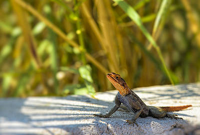 Agama Photograph - Orange Headed Lizard by Paul W Sharpe Aka Wizard of Wonders