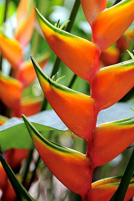Orange Heliconia Original
