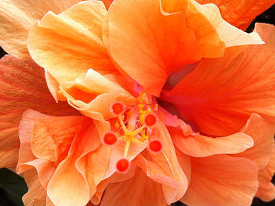Art Print featuring the photograph Orange Hibiscus by Karen Zuk Rosenblatt