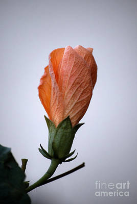 Photograph - Orange Hibiscus Lax 3 by Deborah Smolinske