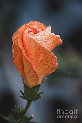 Photograph - Orange Hibiscus Lax 4 by Deborah Smolinske