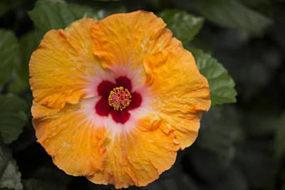 Orange Hibiscus Original