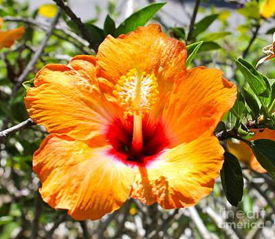 Photograph - Orange Hibiscus by Pamela Walrath