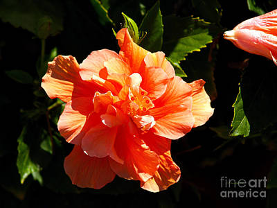 Photograph - Orange Hibiscus by Patricia Griffin Brett