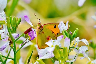 Photograph - Orange Himalayan Butterfly by Kim Bemis