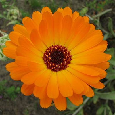 Photograph - Orange Husbandman's Dial Marigold Flower  by Taiche Acrylic Art