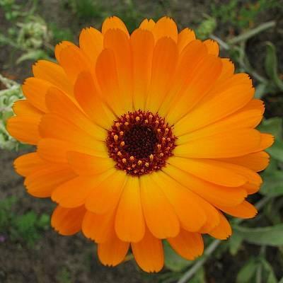 Photograph - Orange Husbandman's Dial Marigold Flower  by Tracey Harrington-Simpson