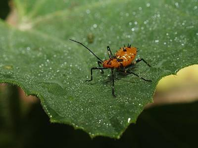 Photograph - Orange Insect by Billy  Griffis Jr