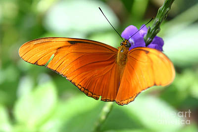 Photograph - Orange Julia Butterfly by Alyce Taylor