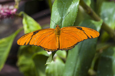 Photograph - Orange Julia Butterfly by Jack R Perry
