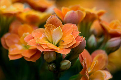 Houseplant Digital Art - Orange Kalanchoe With Company by Eti Reid