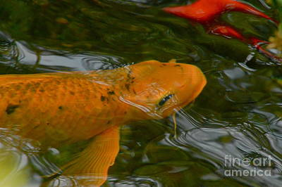 Photograph - Orange Koi by Tim Good
