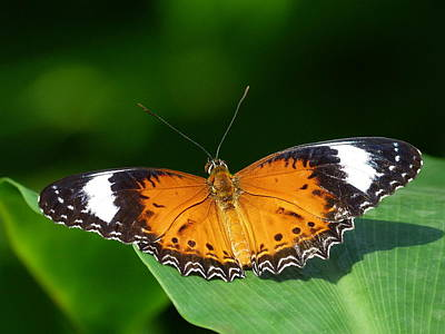 Photograph - Orange Lacewing Butterfly by Margaret Saheed